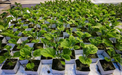 Как выращивают тепличные