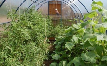 Как вырастить огурцы и томаты