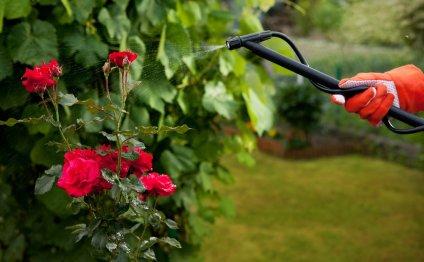 Как вырастить розы в своем