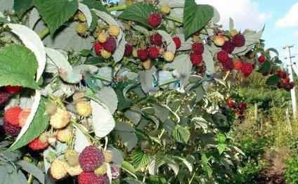 Кусты малины плодоносящей