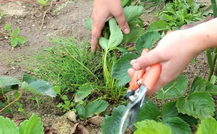 Обрезка листьев клубники