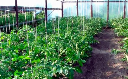 Подвязка томатов в открытом