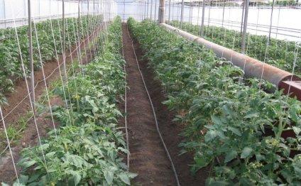 Посадка рассады томатов в