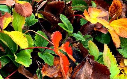 уход за клубникой осенью