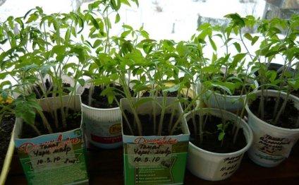 Уход за рассадой овощных
