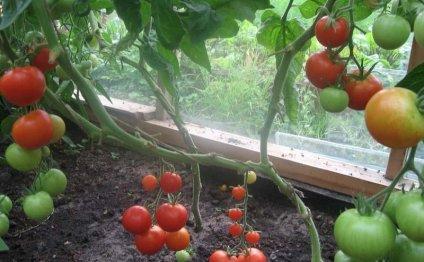 Томаты: выращивание и уход