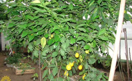 тепличка для лимона