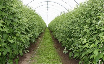 Выращивание малины круглый год