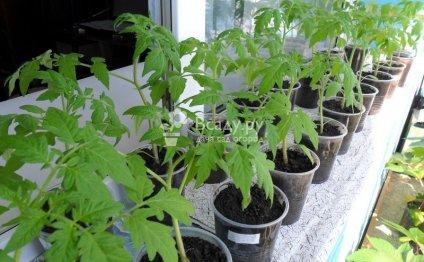 Выращивание рассады помидор на